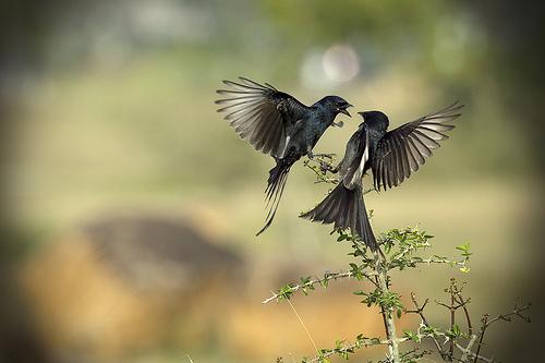 Zwei schreiende Vögel