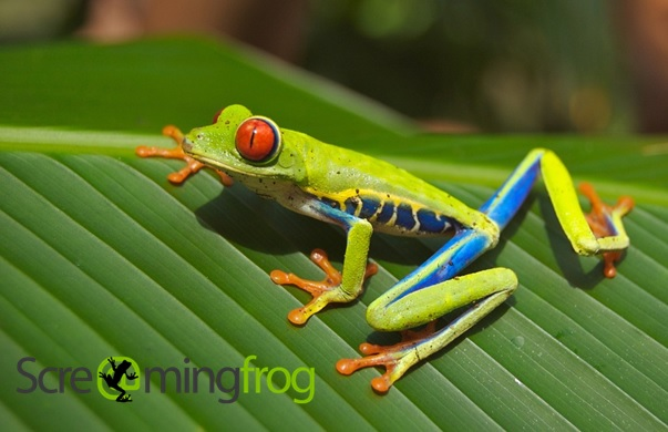 Screaming Frog - Frosch