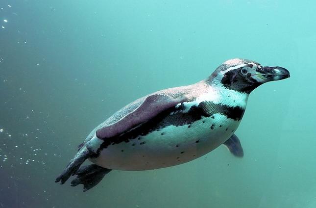 Pinguin unter Wasser